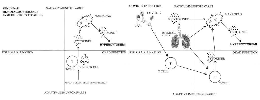 Jämförelse mellan orsak och responderande immunologisk mekanism vid förvärvad sekundär Hemofagocyterande Lymfohistiocytos och vid COVID-19 infektion inkulderat nativa och adaptiva immunförsvaret. Illustration: Ebba Löndahl